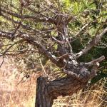 松の木を眺めながら