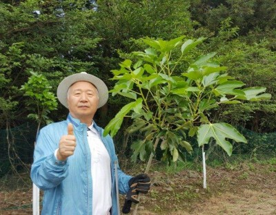 2016.6.2 済州島で育てているカクレミノの木