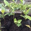 ニュージーランドでビワの苗がすくすく育っています
