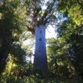 樹齢3,000年のカウリの木
