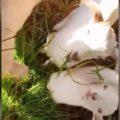 初めて草を食べた地球市民牧場の子ヤギたち